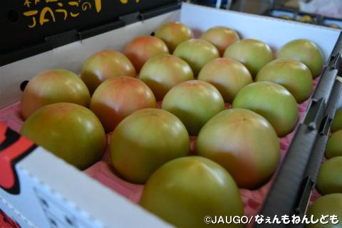 トマト1kg新箱20160815 013.jpg